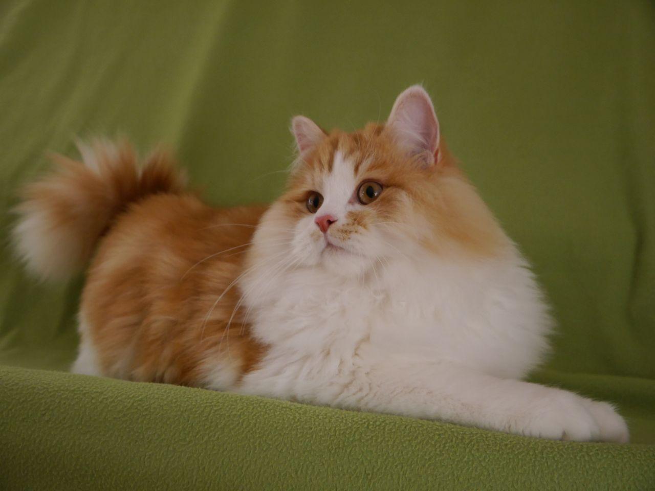 Rasowe Koty Syberyjskie Hodowla Kotów Aryskotracja