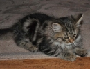 Bella Siburcat of Aryskotracja *PL