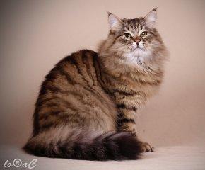 Kocięta Syberyjskie Rasowe Kotki Syberyjskie Aryskotracja